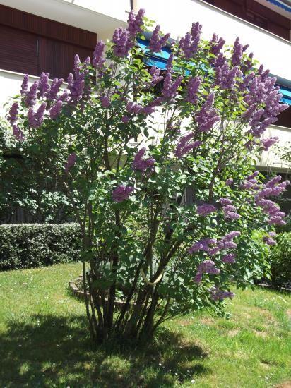 31 lilas