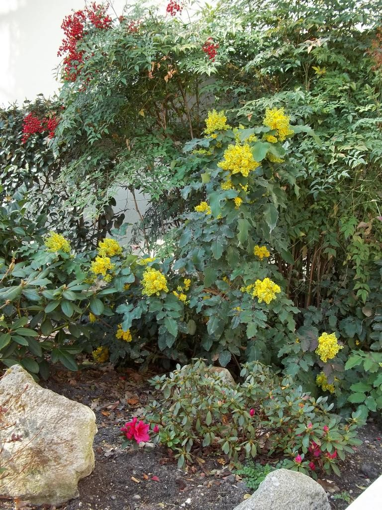 3a berberis aquifolium mahonia 2012