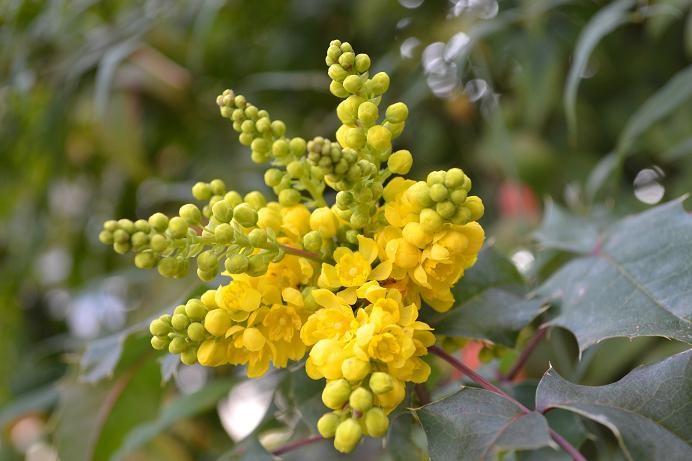 3a berberis aquifolium mahonia