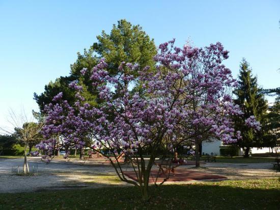95 magnolia caduc